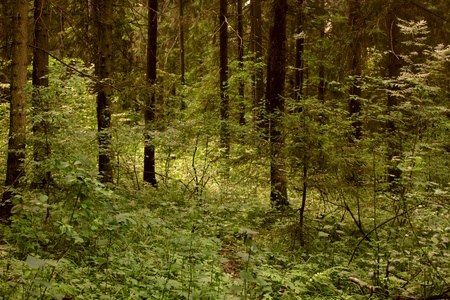 beautiful woodland: Dark forest.