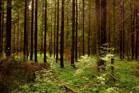Dark forest. Stock Photo - 11217324