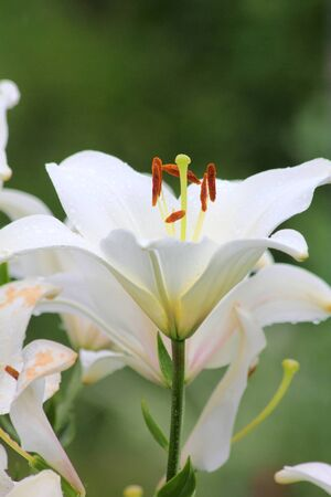 White lily.  Stock Photo - 11217300