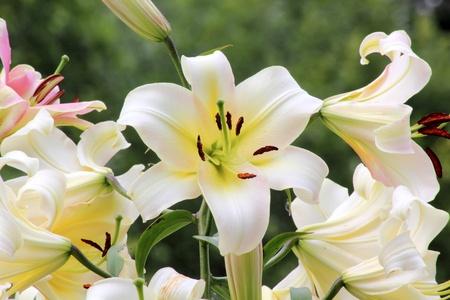 White lily.