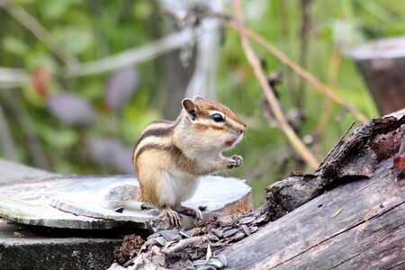gatherer: Chipmunk.