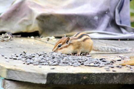 Chipmunk. photo