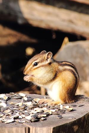 gatherer: Chipmunk.  Stock Photo