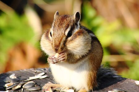Chipmunk.  photo