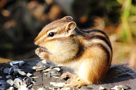 Chipmunk.  Stock Photo