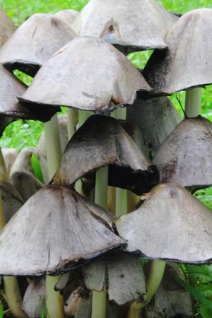 Mushroom. Coprinus.  photo