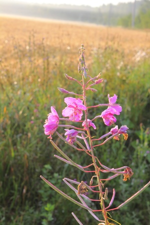fireweed: Wild flower. Fireweed.