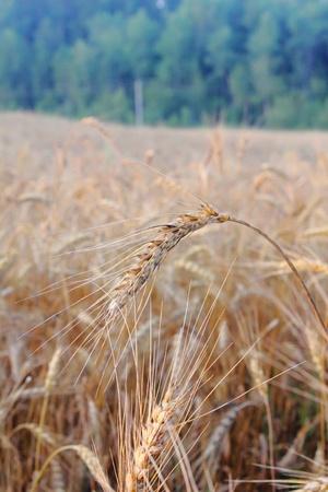 Wheat ears. photo
