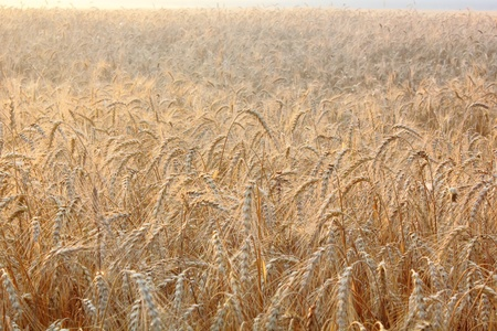 Wheat ears.  photo