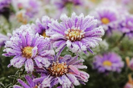 Flower. Hoarfrost.
