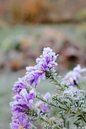 Flower. Hoarfrost.  photo