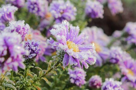 Flower. Hoarfrost.  photo