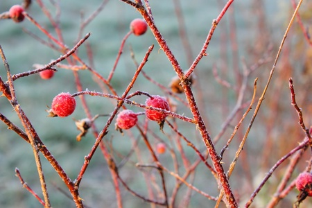 Dogrose berries. Hoarfrost.  Stock Photo