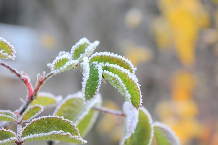 Leaves. Hoarfrost.  photo