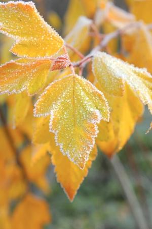 Leaves. Hoarfrost.
