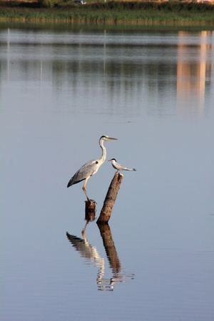 Heron. Lake. photo