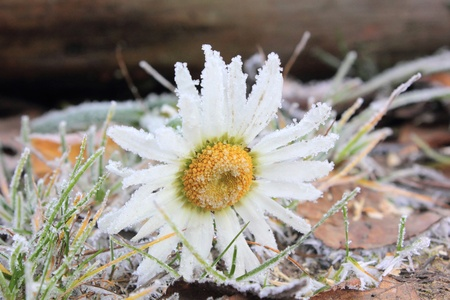 Camomile. Hoarfrost.  photo