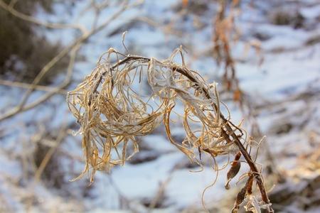 Dead plant. Hoarfrost.  photo