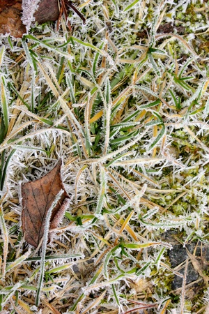 Dry grass. Hoarfrost.  photo