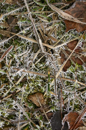 Dry grass. Hoarfrost.  photo