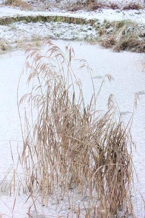 Canes. Snow.  photo