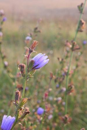 Summer flower. Chicory.  photo