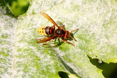 compound eyes: Hornet sitting on plant leaves.