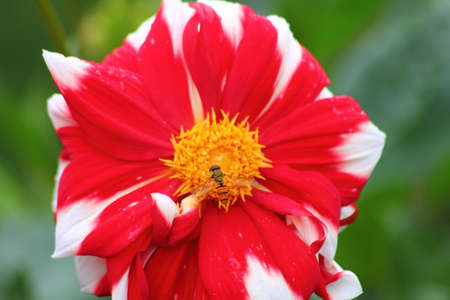 Red garden flower. Dahlia.  photo