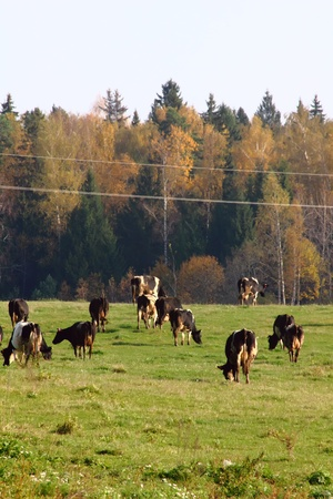 Herd of cows.  photo