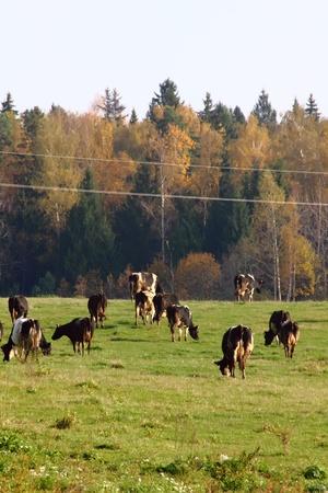 Herd of cows.  photo