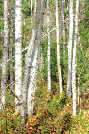 Birch forest.  Stock Photo