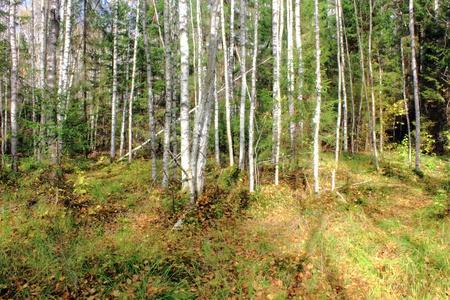 Birch forest.  photo