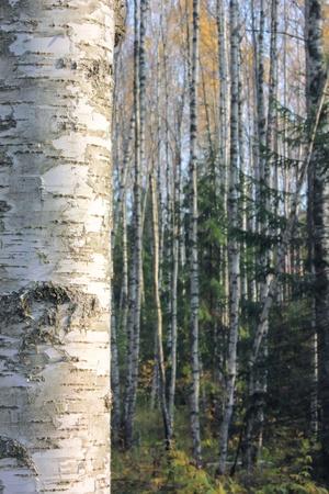 Birch forest.  Stock Photo