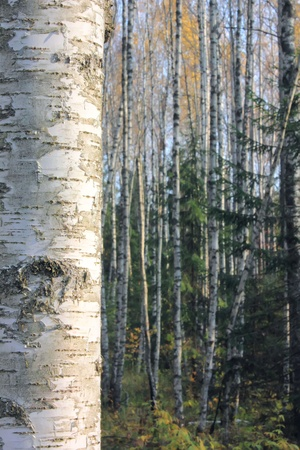 Birch forest.  photo