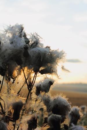 Sunrise. Dead plant.