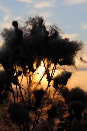Sunrise. Dead plant.  photo