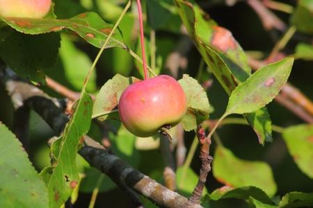 Wild apple.  photo