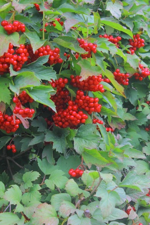 Guelder-rose. Berries.