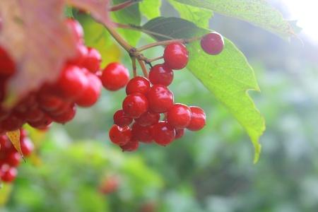 guelderrose: Guelder-rose. Berries.
