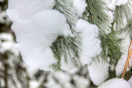Pine branch  Snow   photo