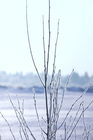 Hoarfrost  Branches of trees  photo