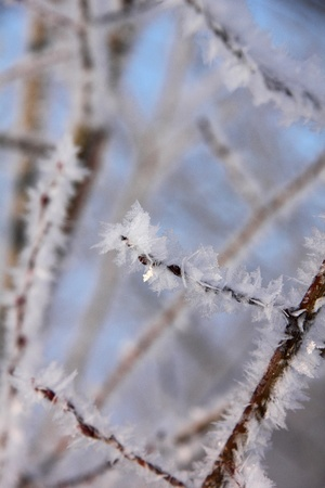 ponderosa pine winter: Hoarfrost  Branches of trees   Stock Photo