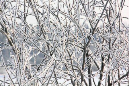 ponderosa pine winter: Hoarfrost  Branches of trees   Stock Photo