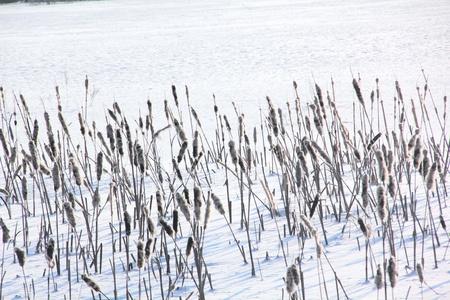 Reedmace  Snow  Winter   photo