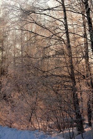 Morning  Winter forest   photo