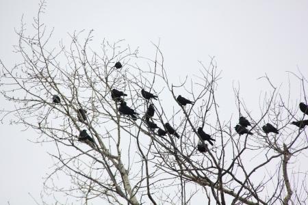 Ravens  Spring