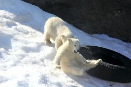 spitsbergen: Bear cubs  Game   Stock Photo