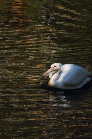 Pelican Stock Photo - 14675631