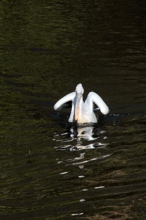 Pelican   Stock Photo - 14675629