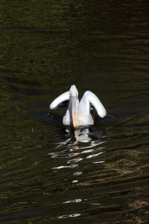 Pelican Stock Photo - 14675628